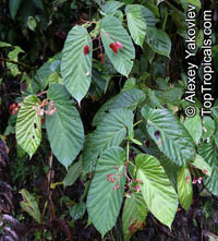 Begonia consobrina, BegoniaClick to see full-size image