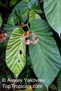 Begonia consobrina, Begonia  Click to see full-size image