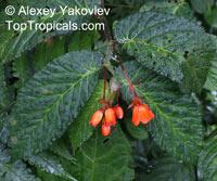Begonia longirostris, BegoniaClick to see full-size image