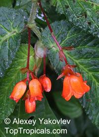 Begonia longirostris, Begonia  Click to see full-size image
