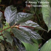 Begonia maynensis, BegoniaClick to see full-size image