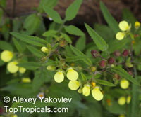 Calceolaria sp., Slipper flower, Slipperwort, Pocket book flower  Click to see full-size image