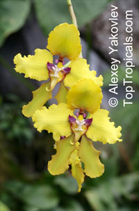 Cyrtochilum sp. , Cyrtochilum  Click to see full-size image