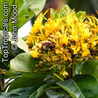 Deplanchea sp., Golden Bouquet, Yellow Pagoda Tree  Click to see full-size image
