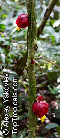 Drymonia coccinea, Besleria coccinea, Alloplectus coccineus , Drymonia  Click to see full-size image