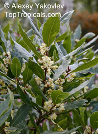 Laurus nobilis - Bay Leaf, 1 gal pot  Click to see full-size image