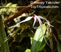 Maxillaria ecuadorensis, Ecuadorian Maxillaria  Click to see full-size image