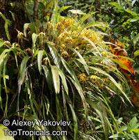 Maxillaria lepidota, Scaled Maxillaria  Click to see full-size image