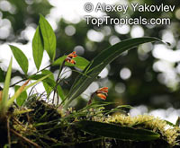 Maxillaria porrecta, Maxillaria brunnea, Tiger Orchid, Extended Maxillaria  Click to see full-size image