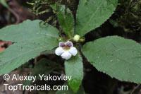 Nautilocalyx ecuadoranus, Nautilus plant  Click to see full-size image