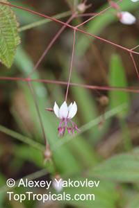 Nepsera aquatica, Altea, Altea Amarilla  Click to see full-size image