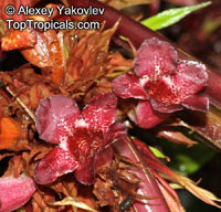 Paradrymonia sp., ParadrymoniaClick to see full-size image