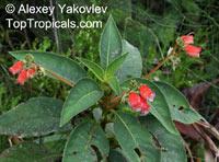 Pearcea reticulata, Kohleria reticulata, Pearcea  Click to see full-size image