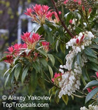 Pieris sp., Pieris, Lily-of-the-valley shrub