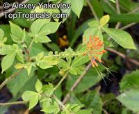 Podandrogyne mathewsii, Podandrogyne brachycarpa, Podandrogyne  Click to see full-size image