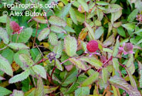 Rubus illecebrosus, Rubus sorbifolius, Rubus yakusimensis, Balloon Berry, Strawberry Raspberry, Japanese RaspberryClick to see full-size image