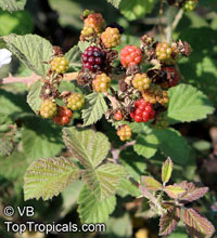 Rubus ulmifolius subsp. sanctus, Rubus sanctus, Holy Bramble, Burning Bush of the Bible  Click to see full-size image