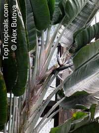 Strelitzia nicolai, Giant bird of paradise, white bird of paradiseClick to see full-size image