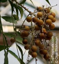 Sapindus saponaria, Soapberry