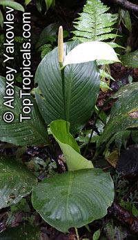 Anthurium dechardii (Spathiphyllum cannifolium) - Peace Lily  Click to see full-size image