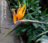 Strelitzia reginae, Bird of paradise, Crane Flower, StelitziaClick to see full-size image