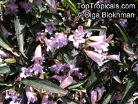 Strobilanthes anisophyllus, Strobilanthes  Click to see full-size image