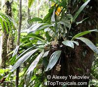 Xylobium leontoglossum, Maxillaria leontoglossa, Lion's Tongue  Click to see full-size image