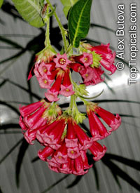 Cestrum sp., Butterfly Flower  Click to see full-size image