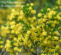 Acacia cooki - seeds