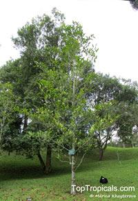 Adinandra sp., Adinandra  Click to see full-size image