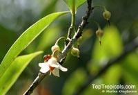Adinandra sp., AdinandraClick to see full-size image