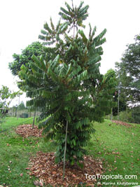 Aglaia argentea, Silver Boodyarra  Click to see full-size image