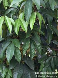 Aglaia korthalsii, Aglaia aquatica, Aglaia cauliflora, Aglaia, Sang Kreyt  Click to see full-size image