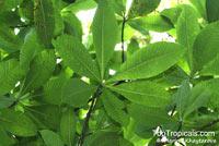 Alstonia spectabilis, Alstonia linearis, Alstonia longissima, Hard Milkwood  Click to see full-size image