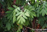Aralidium pinnatifidum, Aralidium  Click to see full-size image