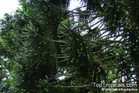 Araucaria sp., Monkey Puzzle, Bunia Pine, Parana Nut  Click to see full-size image