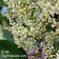 Arytera divaricata, Nephelium beckleri , Coogera, Rose Tamarind  Click to see full-size image
