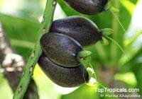 Barringtonia edulis, Cut Nut, Pili Nut  Click to see full-size image