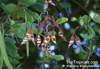 Bauhinia purpurea, Phanera purpurea, Orchid Tree, Butterfly Tree  Click to see full-size image