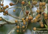 Bischofia javanica, Andrachne apetala, Andrachne trifoliata, Bischofia cummingiana, Bishop Wood, Javawood, Toog Tree, Java Cedar  Click to see full-size image