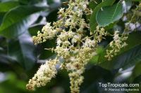 Blighia sapida, Cupania sapida, Akee, Seso Vegetal, Arbre a Fricasser (Haiti)  Click to see full-size image