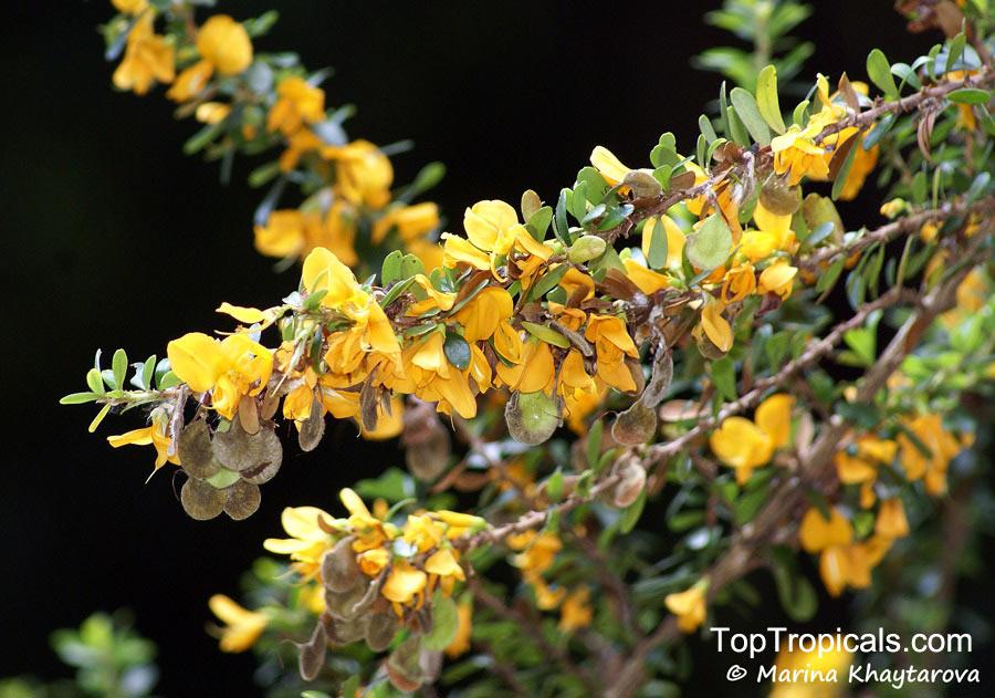 Brya ebenus, Aspalathus ebenus, Jamaican Rain Tree, Ebony Coccuswood, Grenadilla, Granadilla