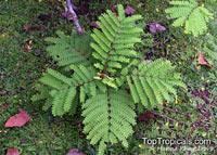 Caesalpinia sappan, Biancaea sappan , Sappanwood, Bukkum-wood, Gango   Click to see full-size image