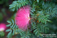 Calliandra haematocephala, Calliandra inaequilatera, Rose cascade, Blood Red Tassel Flower  Click to see full-size image