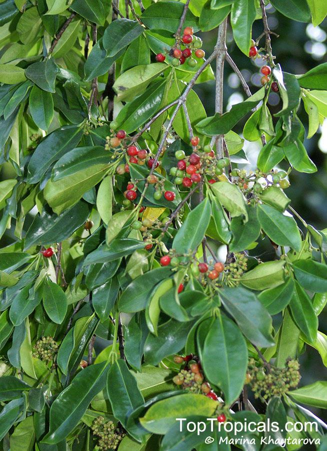 carallia brachiata  diatoma brachiata  petalotoma