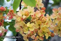 Cassia fistula x javanica, Cassia fistula x grandis, Cassia javanica x grandis, Rainbow Shower  Click to see full-size image