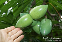 Cerbera floribunda, Cassowary Plum, Cassowary Plum Tree, Grey Milkwood  Click to see full-size image