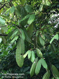 Cinnamomum sp., CinnamonClick to see full-size image