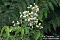 Clausena excavata, Pink Lime Berry  Click to see full-size image