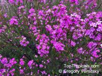 Coleonema sp., Confetti Bush  Click to see full-size image